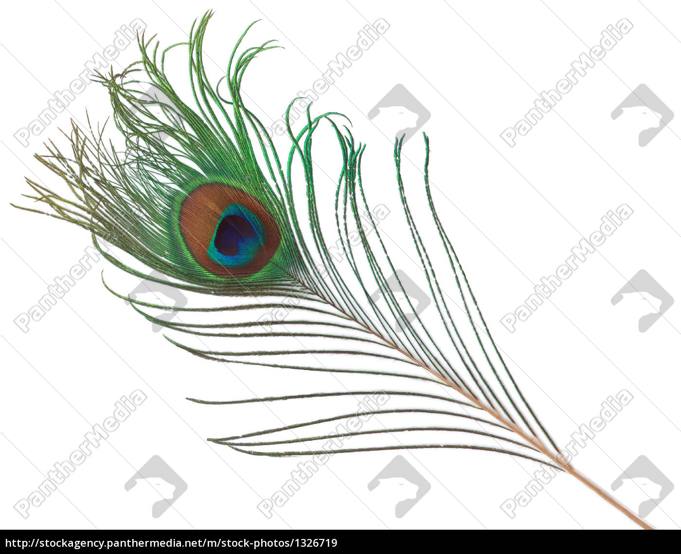 peacock, feather - 1326719
