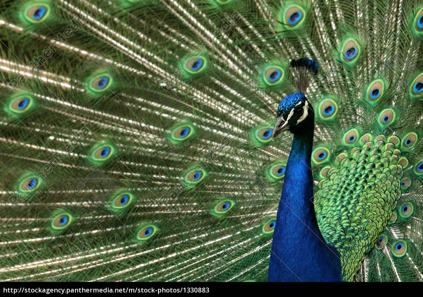 peacock - 1330883