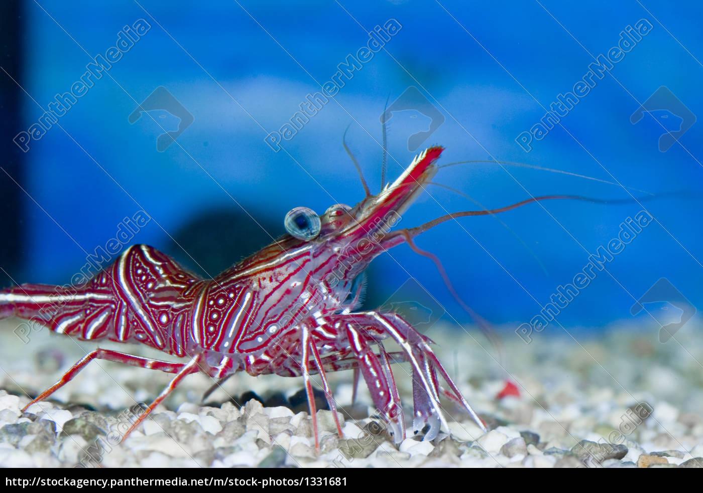 durban, rhynchocinetidae - 1331681