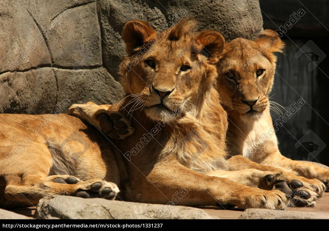 lion - 1331237