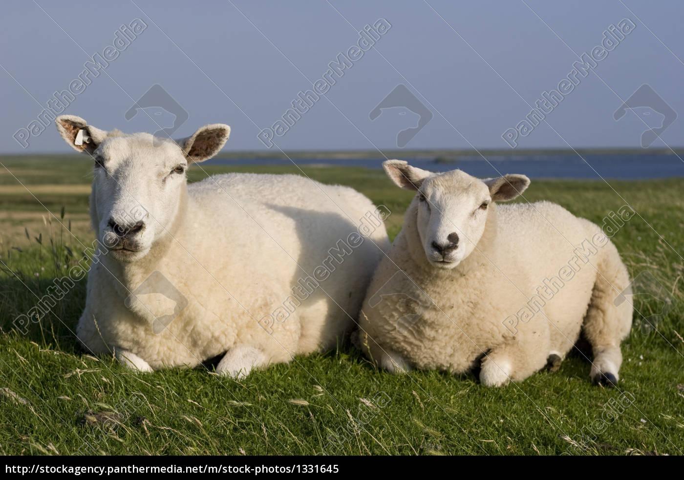 sheep, on, a, dike - 1331645
