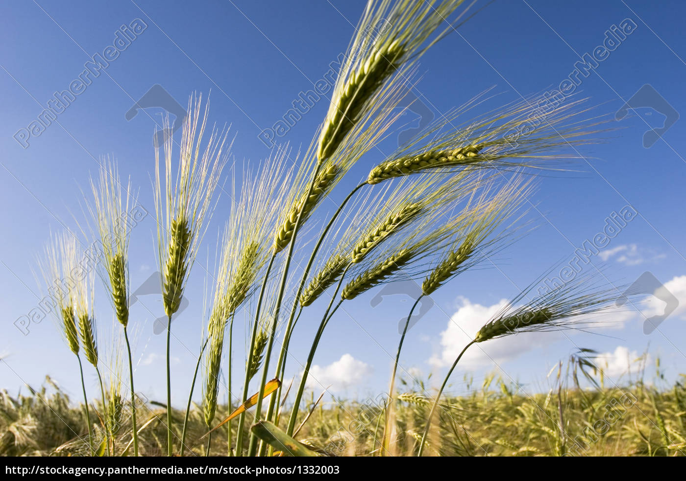 wheat, and, blue, sky - 1332003