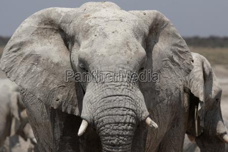 elephant in etosha national park namibia