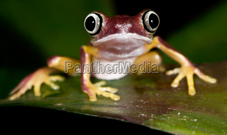 lemurs, tree, frog, -, phyllomedusa, lemur - 1333361