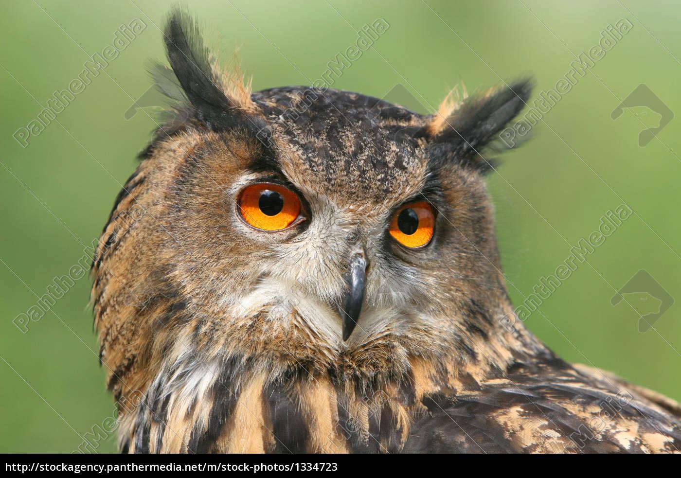 eagle, owl - 1334723