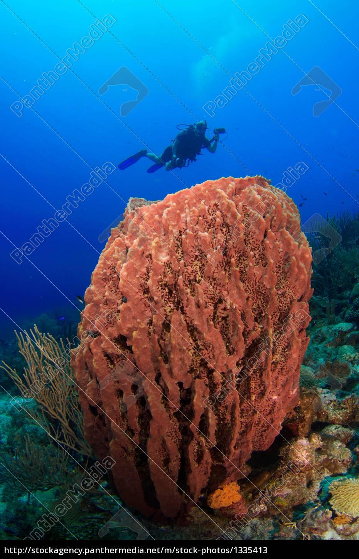 divers, behind, sponge - 1335413