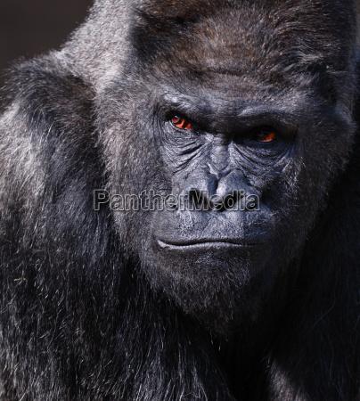 gorilla - 1335921