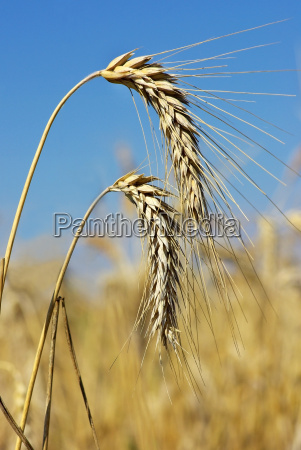 spikes, of, the, wheat, . - 1335589
