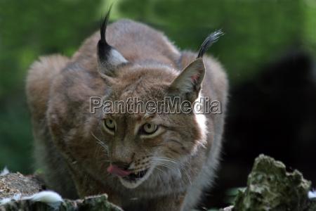 animal big cat feline predator predator
