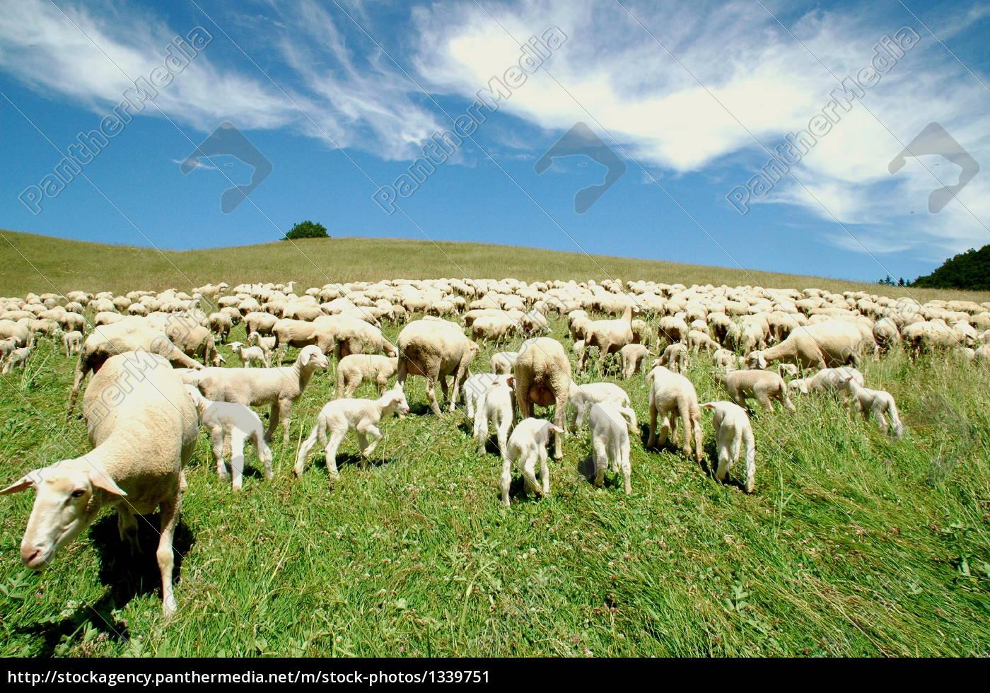 flock, of, sheep - 1339751
