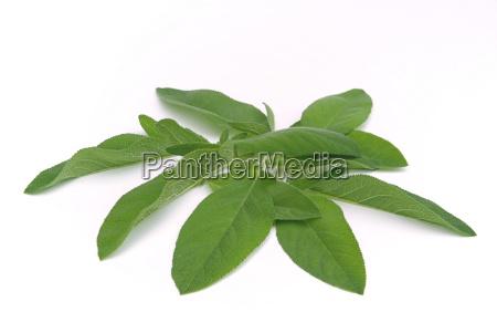 sage, leaf, 01 - 1340385