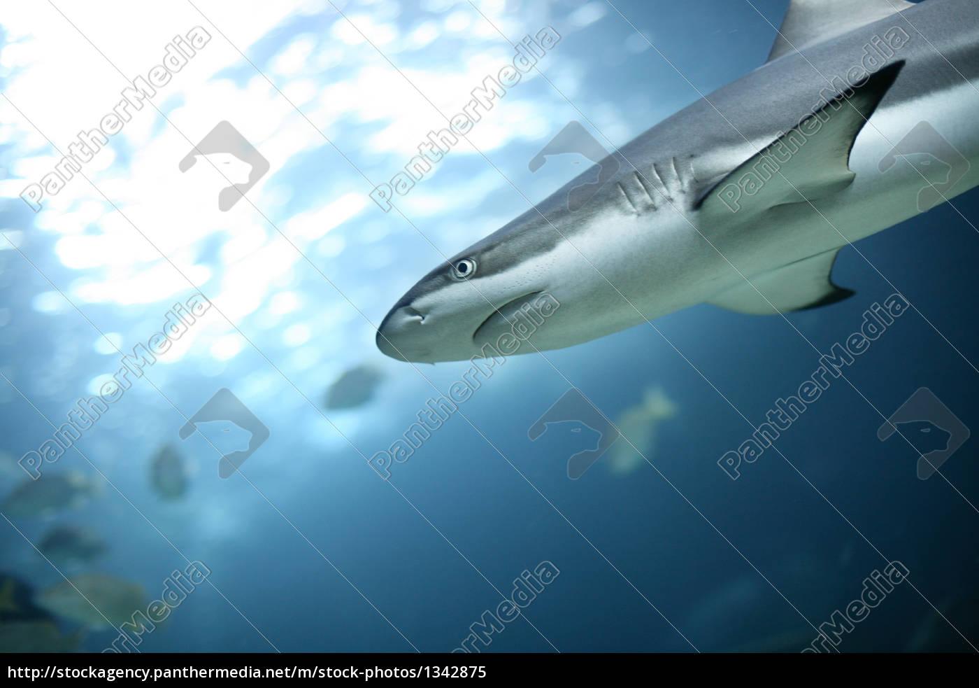shark - 1342875