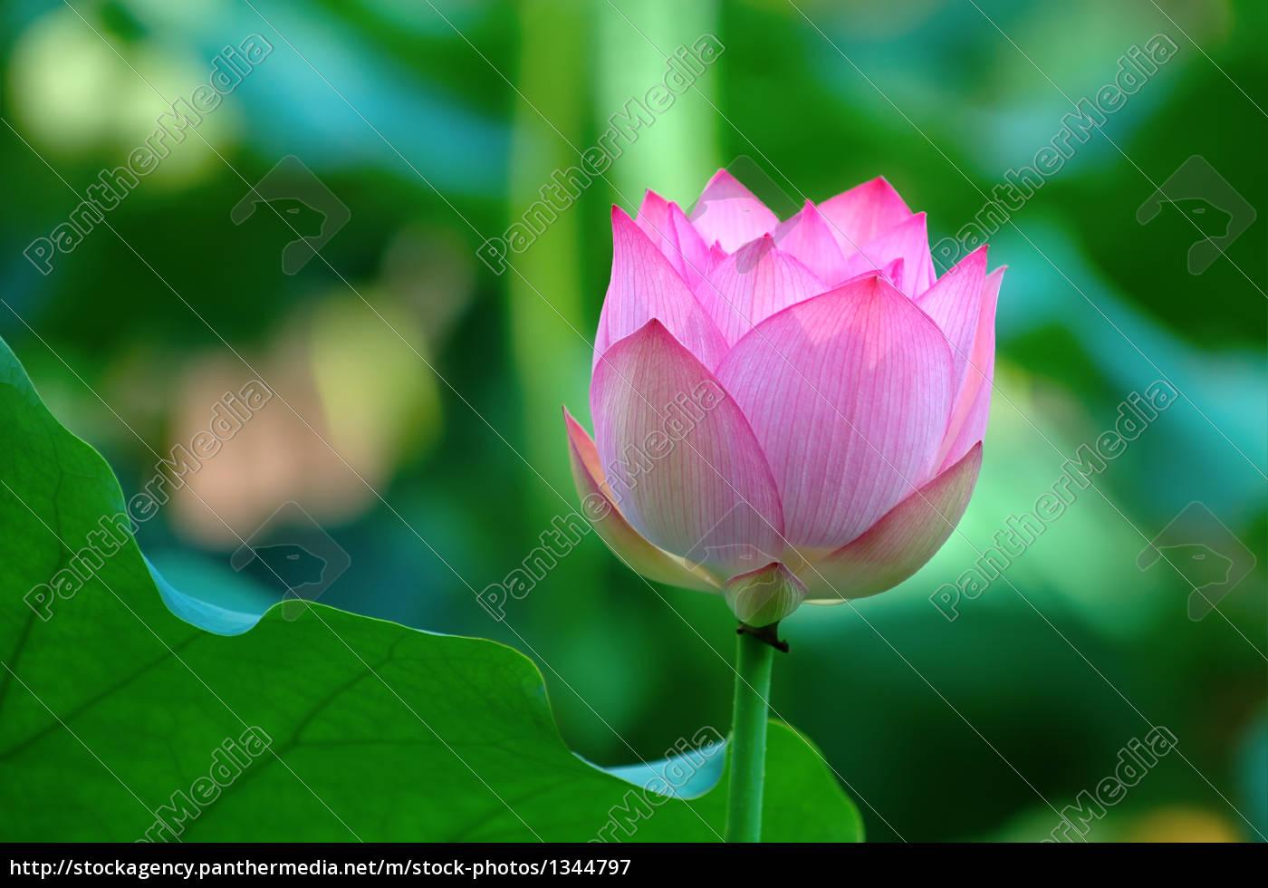 a, lotus, flower, beside, a, leaf - 1344797