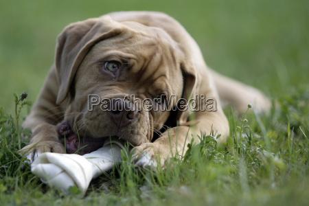 dogue, de, bordeaux, puppy - 1344431