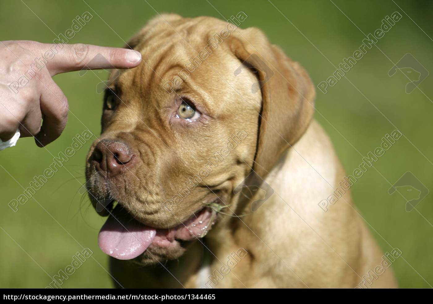 dogue, de, bordeaux, puppy - 1344465