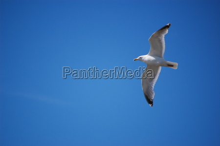 flying, seagull - 1344229