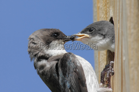 mother, tree, swallow, feeding, her, baby - 1344275