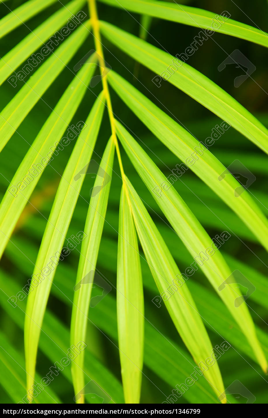 Palm Tree Leaves Royalty Free Image 1346799 Panthermedia Stock Agency