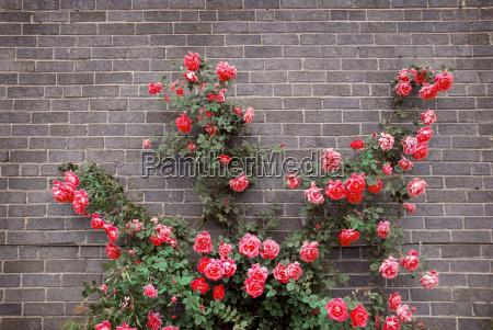 roses, on, brick, wall - 1346869