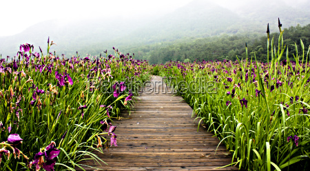 lily, plantation, in, korea - 1348585