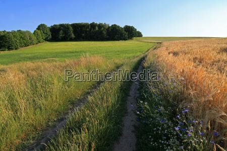 cornflowers wayside