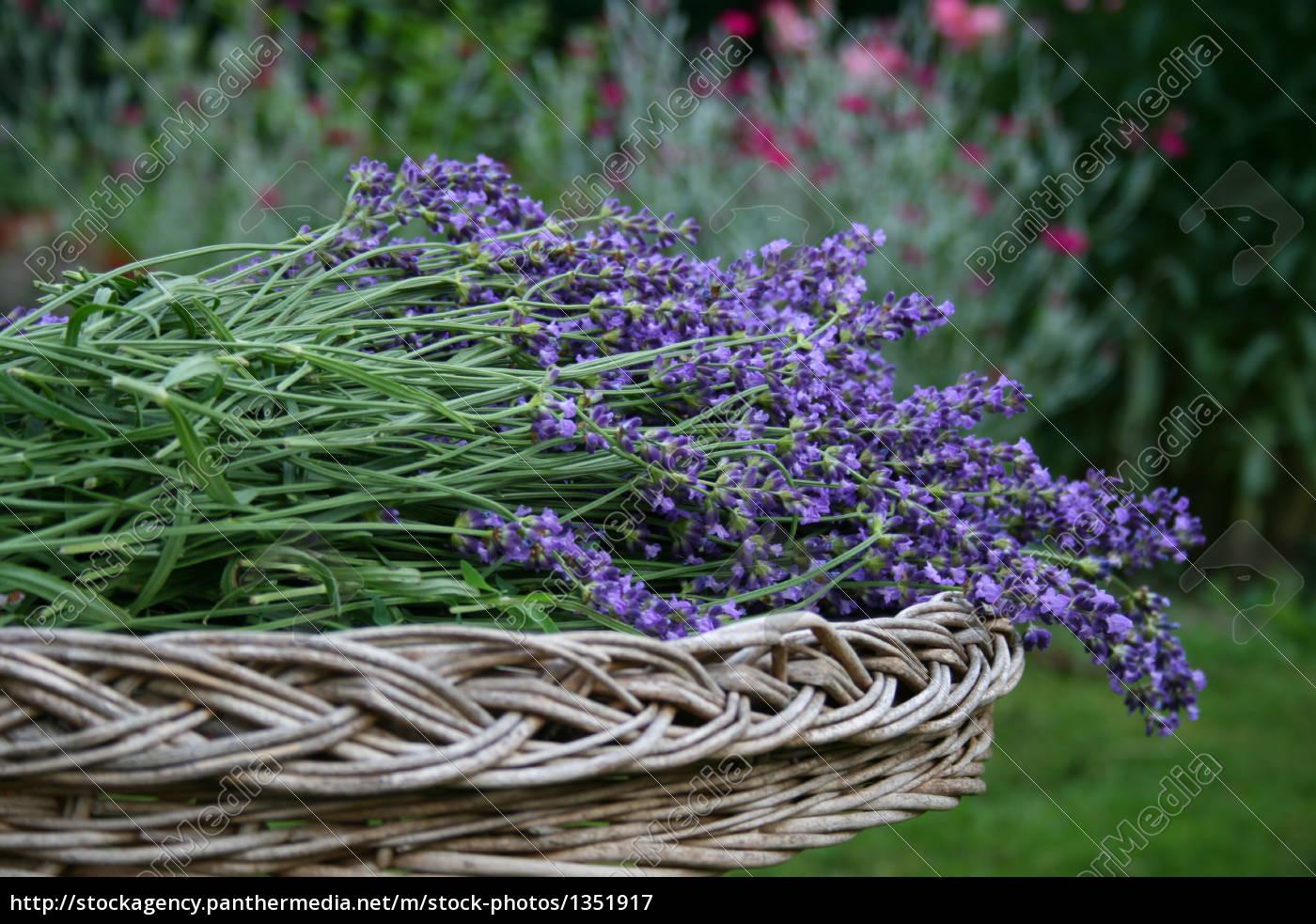 lavender - 1351917