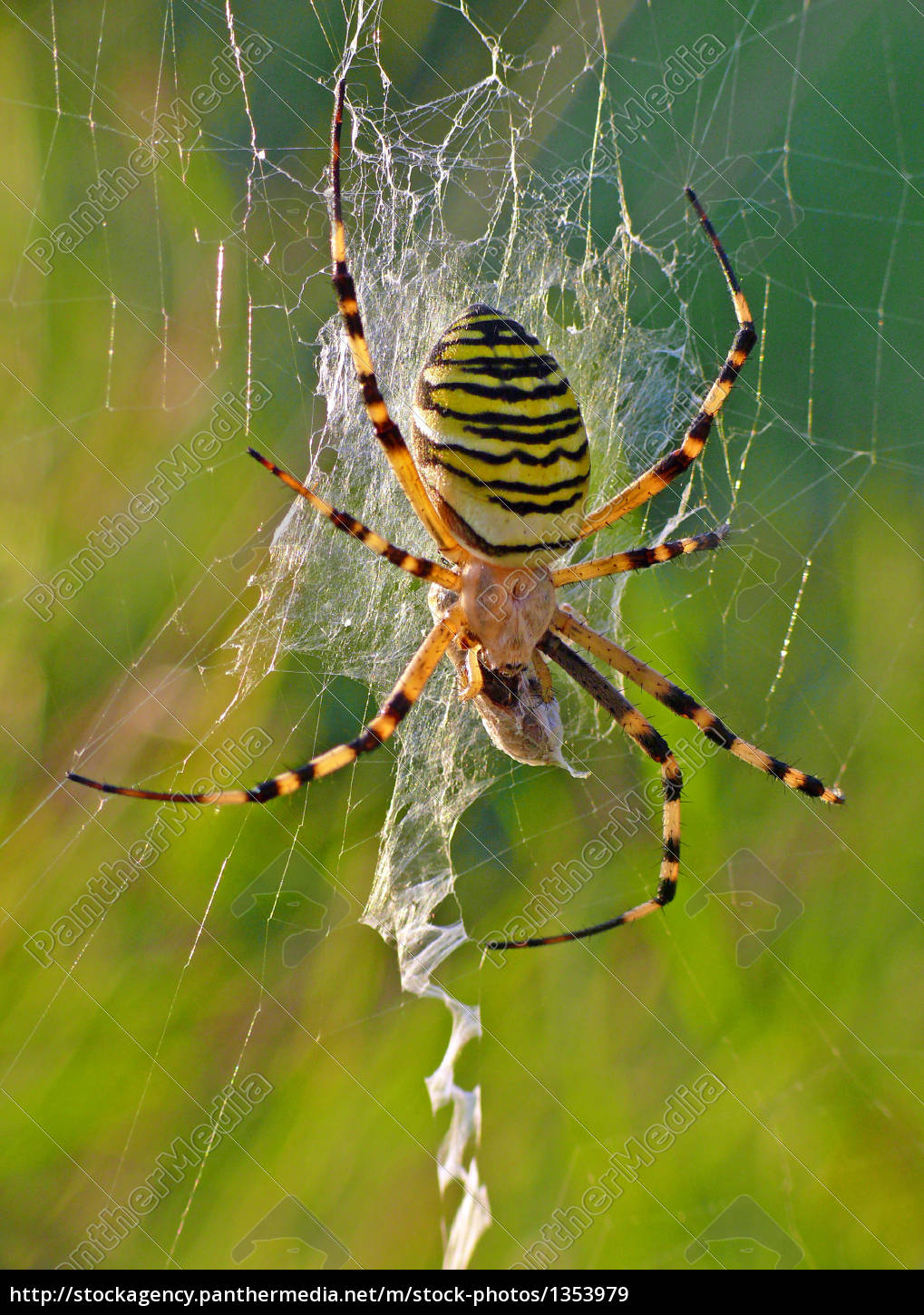 argiope, bruennichi, (with, prey, in, its - 1353979