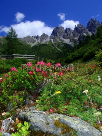 montanyas flor flores planta montanya almrausch