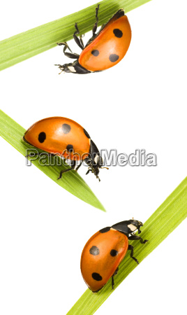 family beetles