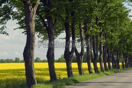 avenue, and, rape, field - 1355537