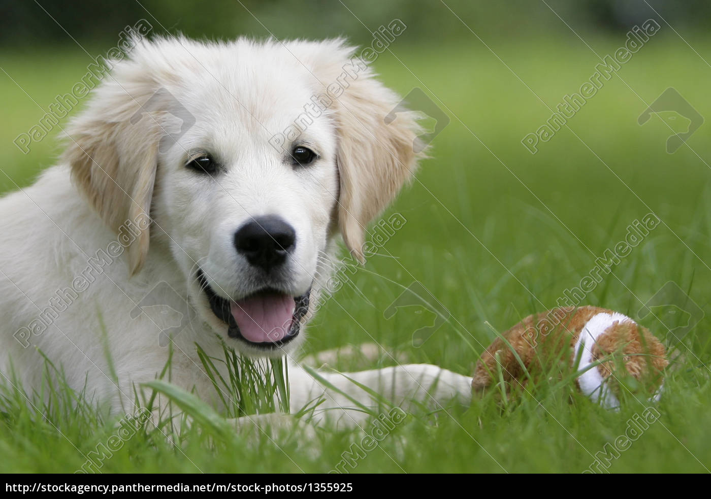 golden, retriever, puppy - 1355925