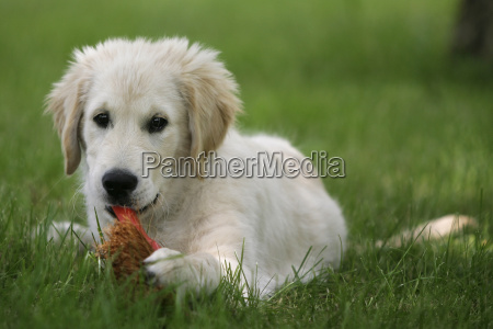 golden, retriever, puppy - 1355933