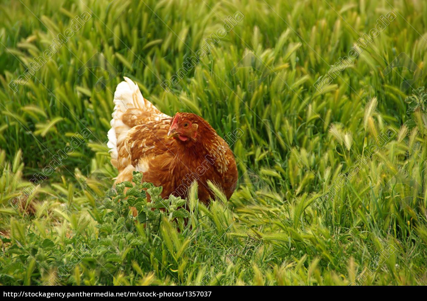 chicken, 04 - 1357037
