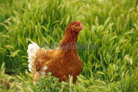 chicken, 05 - 1357039