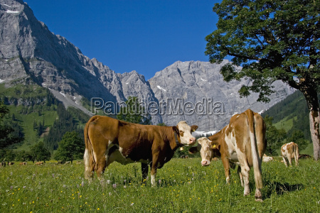 summer resort for cows