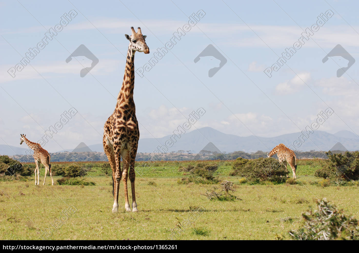 giraffes, in, the, african, savannah - 1365261
