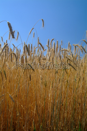 wheat, field - 1365051