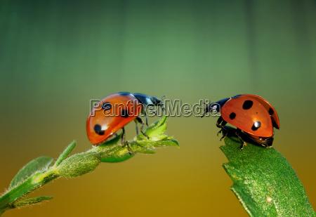 ladybug talking