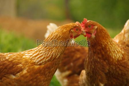 chicken chicken 08