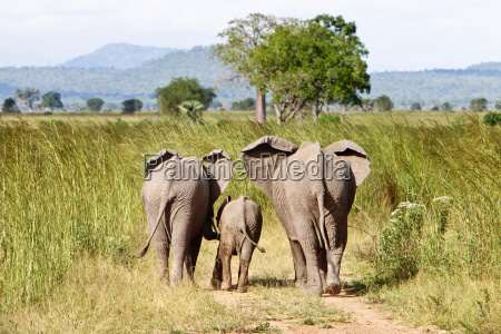 elephant, family, in, steppe, in, tanzania - 1369535
