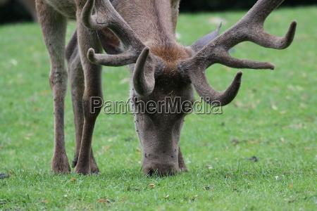 deer in the eye