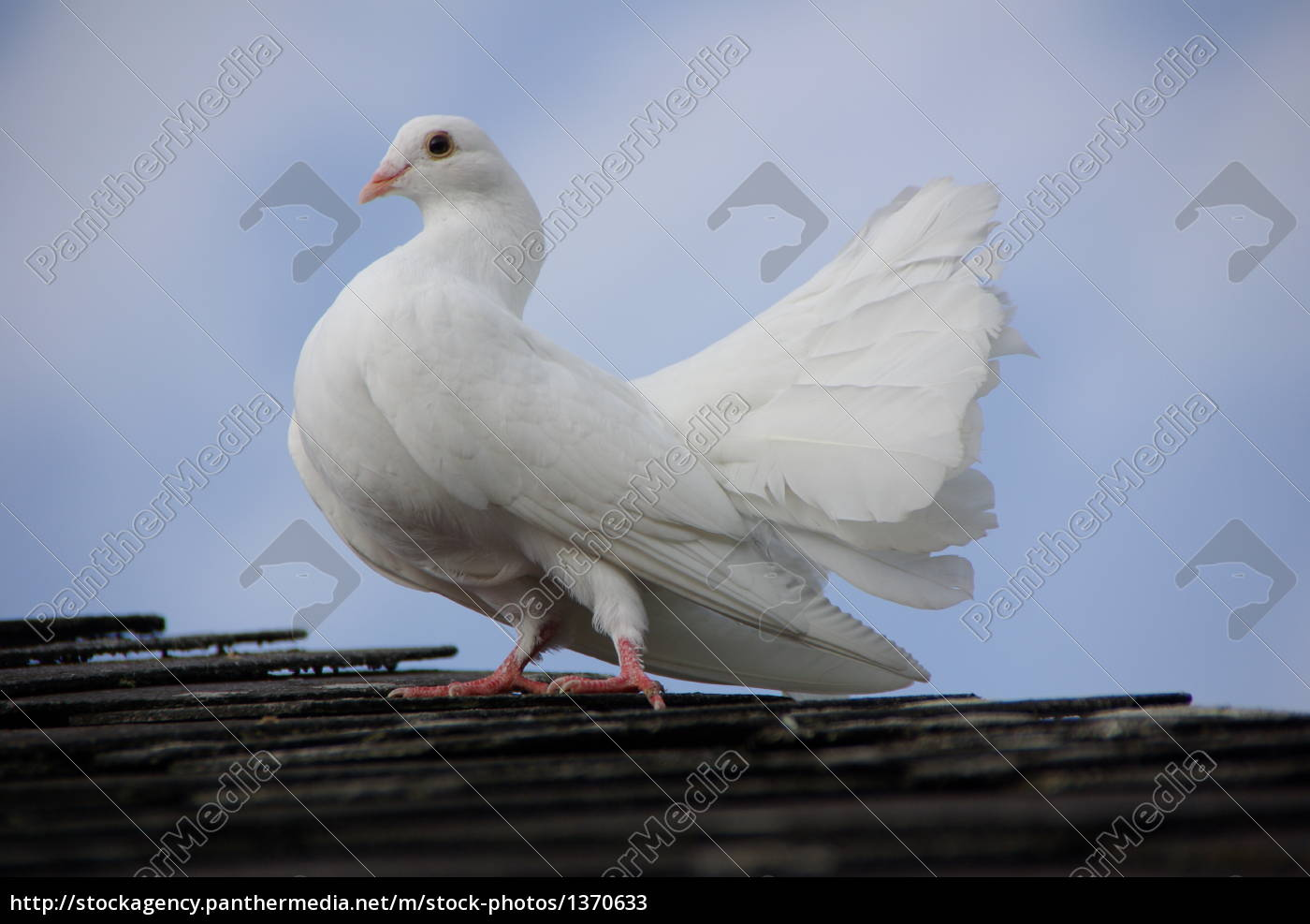 pigeon, on, the, roof - 1370633