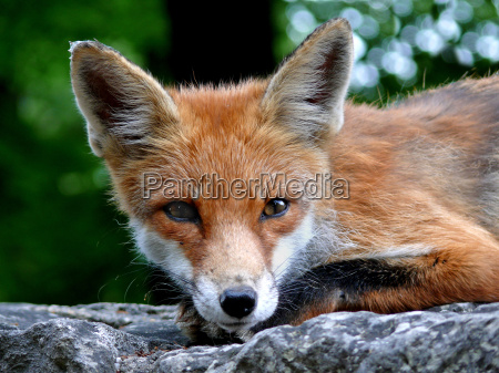 young, fox - 1375801