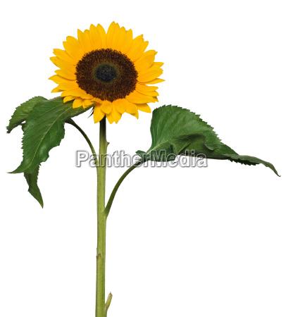 sunflower - 1382881