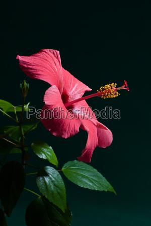 hibiscus - 1384463