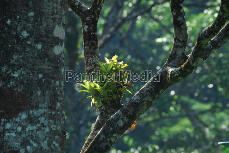 bromeliad in primeval forest tree