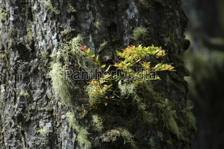 lichen on treecoastal fog forest