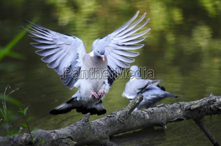 dove approaching a branch