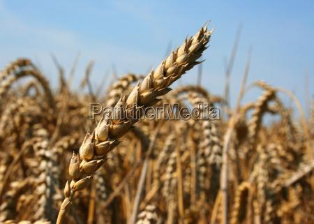wheat - 1402523