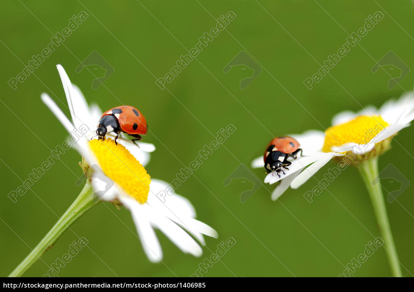 ladybugs, couple - 1406985